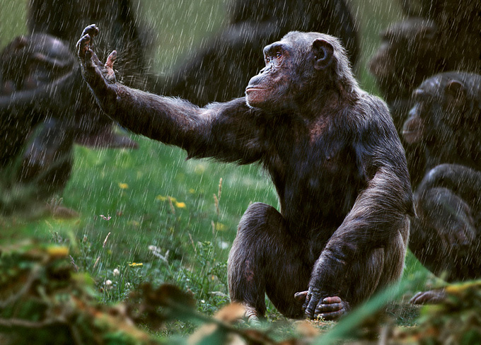 chimp in regen